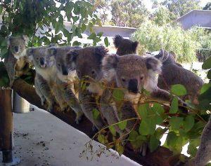 koalas-lined-up