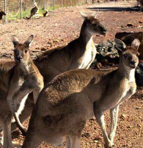 cohunua-koala-park-kangaroos-1