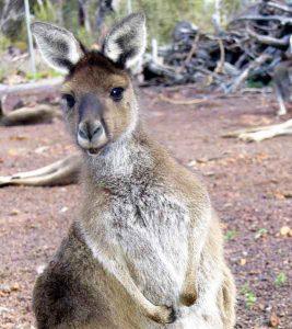 cohunua-koala-park-kangaroos-10