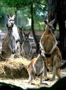 cohunua-koala-park-kangaroos-11
