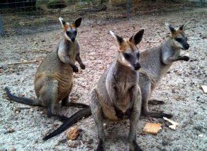 cohunua-koala-park-kangaroos-2