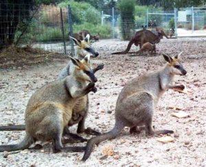cohunua-koala-park-kangaroos-3