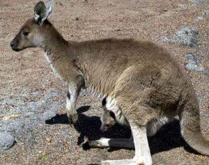 cohunua-koala-park-kangaroos-5