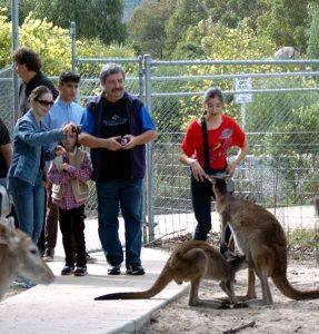 cohunua-koala-park-kangaroos-6