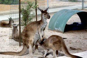 cohunua-koala-park-kangaroos-7