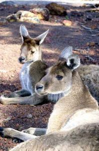 cohunua-koala-park-kangaroos-9